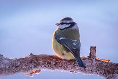 Sideways (MrBlackSun) Tags: tit forest winter finland frozen frozenforest nikon d850 kuusamo birds bird birdlover kuusamonaturephotography nature photography naturephotography lapland