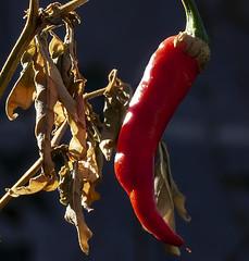 Dragon Cayenne_Macro Monday (brucekester@sbcglobal.net) Tags: macromonday dragoncayenne hobby gardening cooking