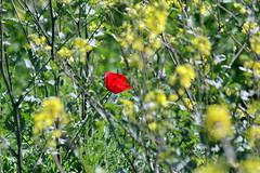 Las primeras amapolas - EXPLORE March 28th 2019 (Micheo) Tags: spain amapola jaramagos campos fields vegadegranada explore ok best bokeh teleobjetivo zoom