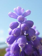 Blütenspitze Muscari armeniacum (Jörg Paul Kaspari) Tags: muscari armeniacum muscariarmeniacum kelberg garten armenische traubenhyazinthe blüte flower bulb zwiebelpflanze frühling spring azurblau violettblau
