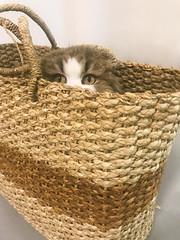 ms. kitty to go (pbo31) Tags: eastbay alamedacounty iphone7 color april 2019 boury pbo31 bayarea mskitty cat scottishfold bag basket kitten handbag pet