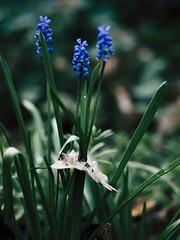 Spring Flower Bokeh - 3. April 2019 - Tarbek - Schleswig-Holstein - Germany (torstenbehrens) Tags: olympus penf m45mm f18 spring flower bokeh 3 april 2019 tarbek schleswigholstein germany neu alt blatt laub pflanze