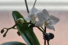 Indoor Orchid by its window (Edgar.Omar) Tags: orchid smc takumar 5014 smctakumar5014 pentax k50 indoor hdr