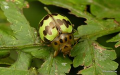 Leaf Beetle, Platyphora sp.? Chrysomelidae (Ecuador Megadiverso) Tags: andreaskay beetle chrysomelidae coleoptera ecuador platyphorasp