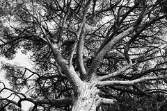 Liguria (fabiolug) Tags: trees tree trunk branches branch nature liguria ligury italy italia leicammonochrom mmonochrom monochrom leicamonochrom leica leicam rangefinder blackandwhite blackwhite bw monochrome biancoenero voigtlandernoktonclassic35mmf14 voigtlandernokton35mmf14 voigtlander35mmf14 35mm voigtlander