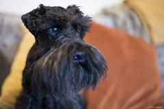 Bart at 12 - Explored 31st January 2019 (bigbluewolf) Tags: nikon d750 50mm schnauzer schnauzers miniature mini miniatureschnauzer dog dogs pet pets black birthday