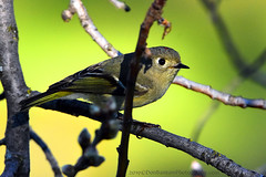 "Ruby-Crowned_Kinglet_06 (DonBantumPhotography.com) Tags: wildlife nature birds animals rubycrownedkinglet ""donbantumphotographycom"" ""donbantumcom"""