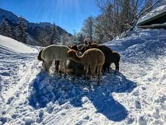 Alpacas (a.k.a. poodle horses) feeding in the snow at Weinbergerhaus near Kufstein, Tyrol, Austria (UweBKK (α 77 on )) Tags: winter snow ice alpaca alpaka poodle horse animal tree mountain weinbergerhaus kaiser farm alm kufstein austria europe europa iphone tyrol tirol österreich