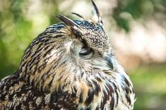 Gaze (Thomas Hawk) Tags: animal bayarea california sfbayarea sanfrancisco sanfranciscobayarea sanfranciscozoo usa unitedstates unitedstatesofamerica bird owl zoo us