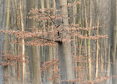 Early Morning Sunshine on Beech Trees (Rachel Dunsdon) Tags: 2019 hampshire blackwood forest dawn beech sunshine