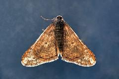Spring Usher ... Agriopis leucophaearia (AndyorDij) Tags: springusher agriopisleucophaearia andrewdejardin england nationalmothweek empingham empinghammoths lepidoptera rutland uk unitedkingdom insect moth