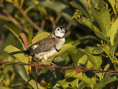 Double-barred Finch (Mark Leary) Tags: bird doublebarredfinch ouryard mudgee
