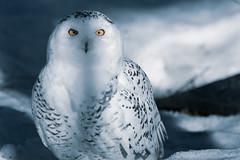 Snowy owl (TheSaOk) Tags: snowyowl tunturipöllö buboscandiacus pöllö owl snow lumi birdlife birds linnut