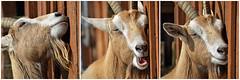 Feels Good (MTSOfan) Tags: goat happy feelsgood warm lvz pleasure triptych
