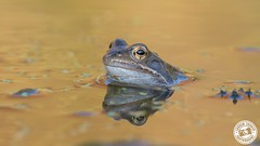 Common Frog - Rana temporaria (Lauren Tucker Photography) Tags: bath closeup commonfrog frog garden macro mammal nature pond wildlife canon slr camera markii 7d 100400mm copyright ©laurentuckerphotography photography photographer photograph photo image pic picture allrightsreserved 2019 winter spring colour wild tadpole common up close