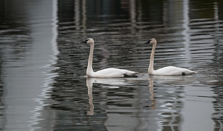 Special Swans