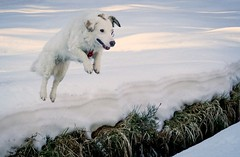 Fun in the snow (A.K. 90) Tags: dog hund pet haustier white snow schnee winter jump sprung animal tier nature natur action artistic sonyalpha6300 e18135mmf3556oss outside outdoor fun spas