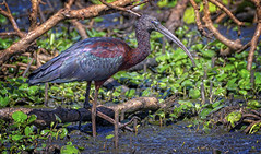 in the thick of it - a glossy ibis (Fat Burns ☮) Tags: glossyibis plegadisfalcinellus ibis bird australianbird waterbird fauna australianfauna nikond500 nikon200500mmf56eedvr nature outdoors sandycamproadwetlands wynnum queensland australia wildlife australianwildlife