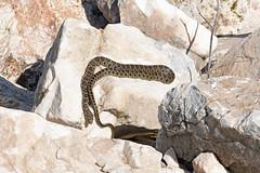 Horseshoe Whip Snake (Hemorrhois hippocrepis) (Sky and Yak) Tags: horseshoe whip snake hemorrhois hippocrepis horseshoewhipsnake hemorrhoishippocrepis nature naturalworld spain europe espagne reptile reptilesandamphibians malaga herpetology herp basking bask serpent
