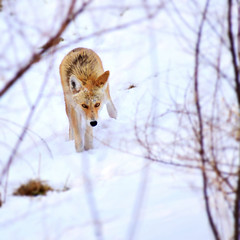A young coyote (mrsparr) Tags: coyote wildlife humberbayparkeast toronto ontario