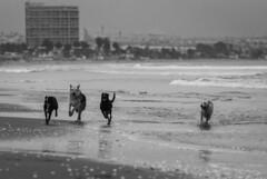 Perros contentos, La Serena, Chile (Mario Rivera Cayupi) Tags: bw blancoynegro arte laserena chile playa sand arena perros dogs freedom libertad bokeh animales agua mar sea water canon80d blackandwhite serieart canon70200mmf28lisusm