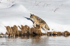Navigating the Bank (Glatz Nature Photography) Tags: glatznaturephotography nature northamerica usnationalparks wildanimal wildlife winter yellowstonenationalpark canislatrans coyote madisonriver snow
