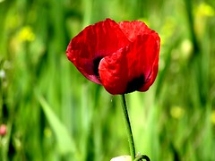 mohnblüte (lualba) Tags: mohn poppy green grün blume flower alentejo portugal