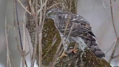 Autour des palombes_070A5255 (d.jauvin) Tags: épervier autour québec autourdespalombes northerngoshawk accipitergentilis