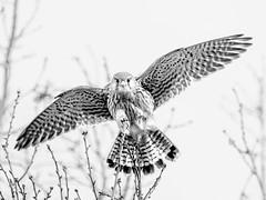 b&w Female Kestrel (bredmañ) Tags: female kestrel bird raptor wild wildlife uk british england nature naturallight handheld olympus em1mkii 300f4 mono bw blackandwhite