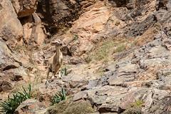 Berber goat - Setti Fatma, Ourika Valley, Atlas Mountains, Morocco-4 (Nature21290) Tags: atlasmountains bovidae capraaegagrus capraaegagrusssphircus february2019 goat mammalia morocco ourika settifatma