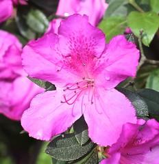 0B6A1609 (Bill Jacomet) Tags: azalea azaleas flower flowers houston tx texas 2019