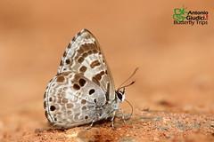 The White-banded Pierrot - ผีเสื้อม่วงปีกแหลมแถบขาว (Antonio Giudici Butterfly Trips) Tags: thailand srilannanationalpark chiangmai niphandaasialis lycaenidae polyommatinae thewhitebandedpierrot ผีเสื้อม่วงปีกแหลมแถบขาว