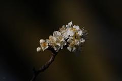 Luz en la sombra (Jesús Emilio Monje) Tags: flowers flores blossom light shadows naturaleza nature spring primavera
