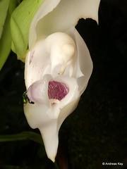 Orchid bees, Euglossa sp. on Anguloa eburnea (Ecuador Megadiverso) Tags: andreaskay anguloaeburnea apidae apinae ecuador euglossinebee euglossini hymenoptera idbygüntergerlach idbymarcogaiani jardinbotanicolasorquideas orchid orchidbee puyo tuliporchid