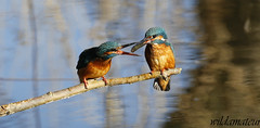 Kingfishers (fish pass) (wildamateur) Tags: kingfisher alcedoatthis swtlackfordlakes suffolk canon6d canonef100400lismkii