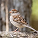 Chipping Sparrow (greadore) Tags: