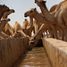 Camels drinking from the constructed animal trough at Ceelbuh, Nugal region, #Somalia