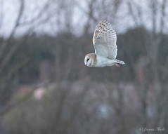 LQ5A3700 (larysaflack) Tags: barn owl hunting bird prey