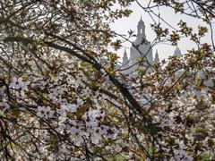 Springtime in Dresden - Frühling in Dresden (ralfkai41) Tags: spring architektur church nature dresden outdoor natur frauenkirche kirschen cherry blüten architecture womanschurch sachsen saxony blossoms frühling