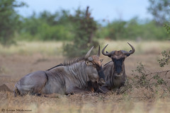 Not always on the move! (leendert3) Tags: leonmolenaar wildlife southafrica krugernationalpark mammals bluewildebeest ngc npc naturethroughthelens