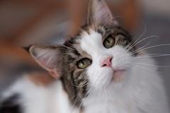Donna 🐾 (unbunt.me) Tags: lrcc fujifilm katze cat fujixpro2 fuji mainecoon