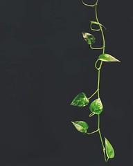 Creep of the Devil (whatsayjk) Tags: plants pothos devilsivy houseplant botanical minimal minimalism growth interior decor vine green kansascity kcmo