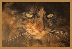DSC04621 Easy Portrait (Olpo2vin) Tags: cat chat yeux eyes regard look félin feline olpo easy poils fourrure redessan 30129 animaldecompagnie vibrisses