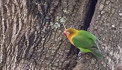 FISCHER'S LOVEBIRD 1 (Nigel Bewley) Tags: fischerslovebird agapornisfischeri tanzania africa wildlife nature wildlifephotography nigelbewley photologo appicoftheweek march march2019 safari gamedrive karatu