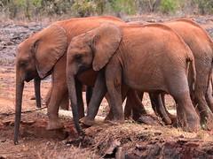 Loxodonta africana (bathyporeia) Tags: nairobi africa kenya elephantidae loxodontaafricana ©hanshillewaert nikon