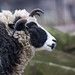 jacob sheep portrait