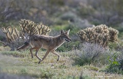 On a mission (Photosuze) Tags: coyotes mammals animals nature wildlife canids predators running cholla desert canislatrans