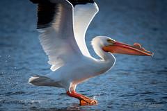 20190408-DSC_7350.jpg (GrandView Virtual, LLC - Bill Pohlmann) Tags: bird americanwhitepelican wisconsin wildlife waterfowl stcroixriver northhudsonwi