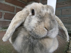 Bunny in your face! (eveliensbunnypics) Tags: bunny rabbit lop lopeared polly face closeup