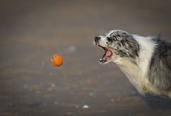 Duke..and The End Game! (redshift1960) Tags: duke bluemerle bordercollie dog chuckit ball beach catch canon